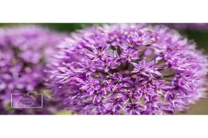 A purple allium flower greetings card linking to Etsy store to buy