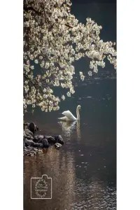 Swan and blossom greetings card linking to Etsy store