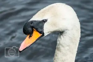 swan head greetings card linking to Etsy store
