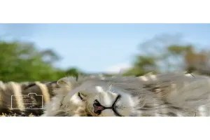 A sleeping lion greetings card linking to Etsy store to buy