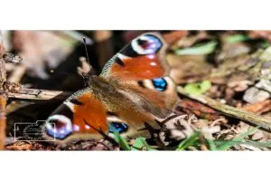 A peacock butterfly greetings card linking to Etsy store to buy