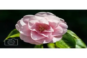 A camellia flower card linking to Etsy store  to buy