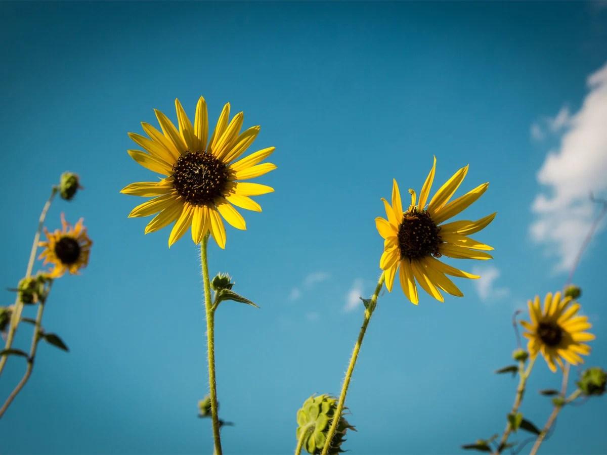Common Texas Sunflowers