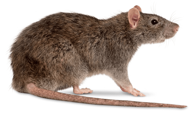 Image result for Rat pictures