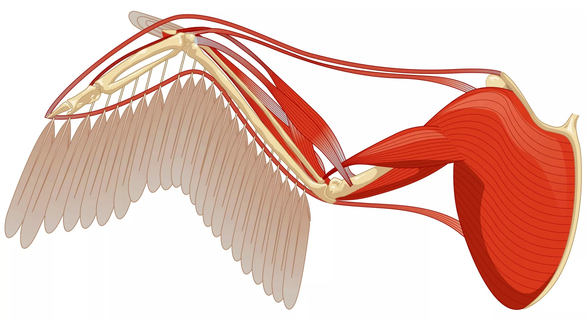 Wing Bone Human Body