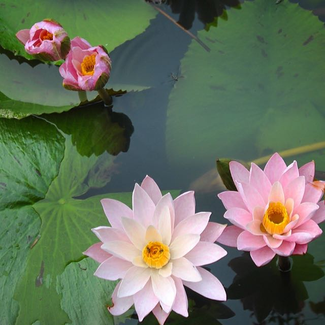 Water lilies in Thailand