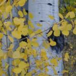 fall-aspens-close-up-197759-m