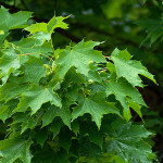 norwaymaple