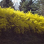 Forsythia informal hedge