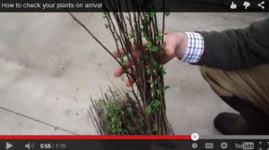 checking bare root plants