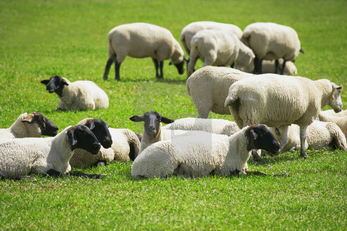 Image result for sheep resting