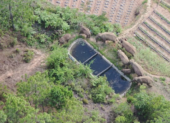 Elephants drink water from a pool in Yunnan Province, about two months ago / Photo: Reuters, China Daily