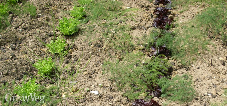 Intercropping lettuce between young asparagus