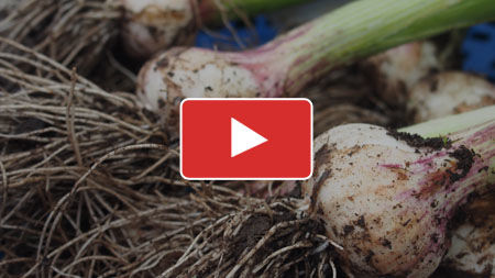 Growing Garlic from Planting to Harvest