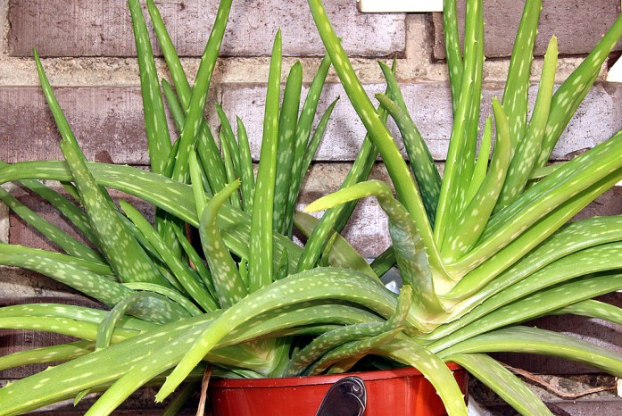 ALOE VERA PLANT IMAGE SOURCE : Google