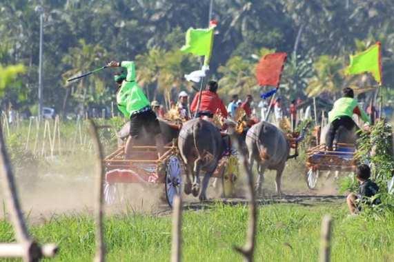 Tradisi Mekepung Jembrana Bali
