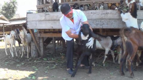 Pemeriksaan kesehatan hewan kurban
