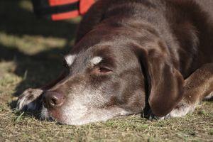 dog eyes pain