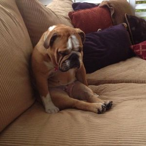 bulldog sit