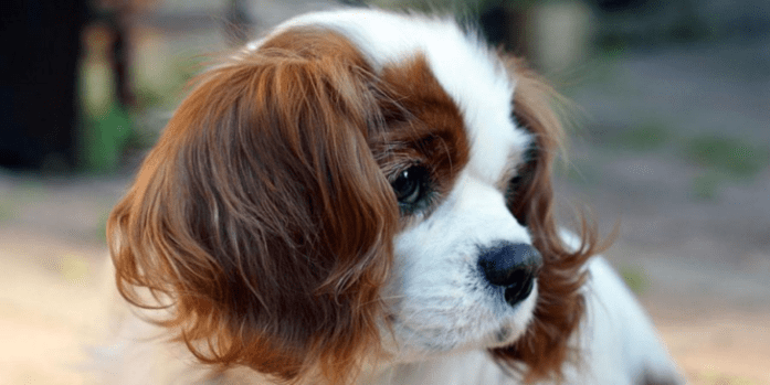expensive dog breeds cavalier k c spaniel
