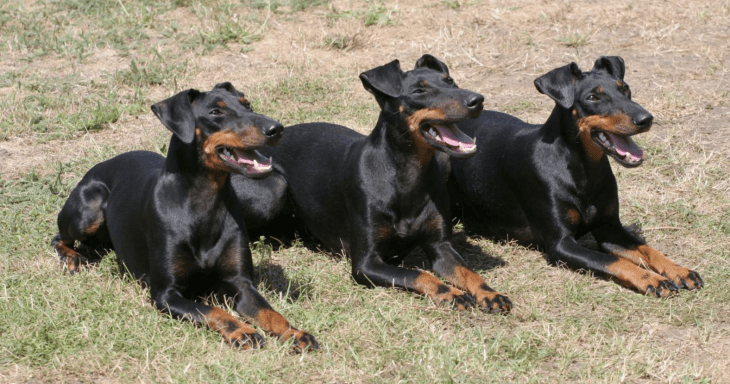 hdb approved dogs Manchester Terrier
