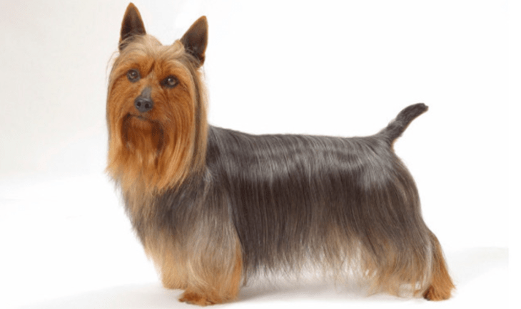 hdb approved dogs Silky Terrier