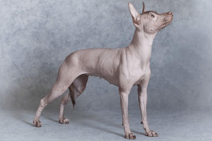Hypoallergenic dog breed -Xoloitzcuintli