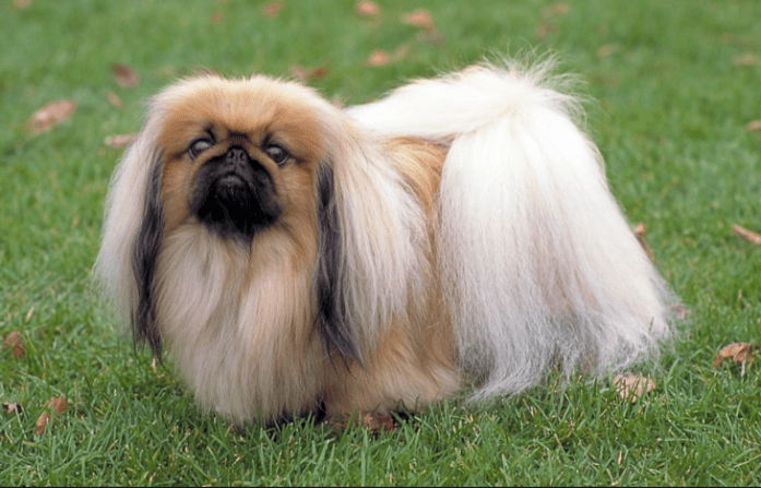 hdb approved dogs Pekingese
