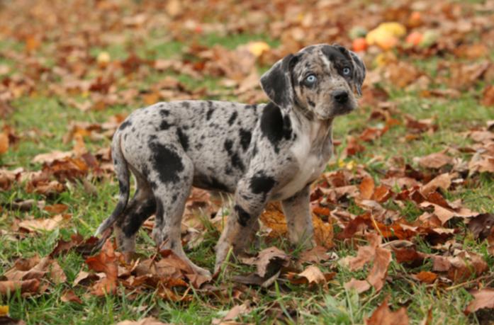 rare dog breeds Catahoula Leopard Dog