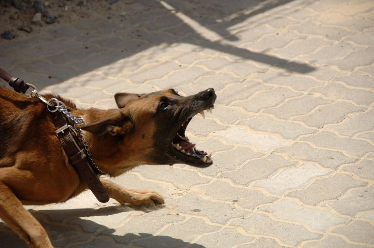 German Shepard Angry