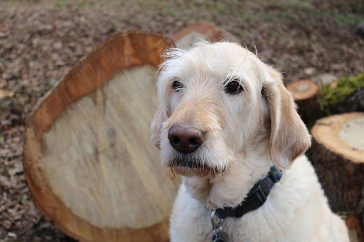 Sad Senior Dog