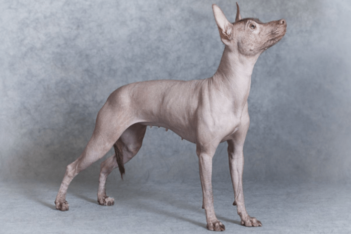 hdb approved dogs Hairless Dog