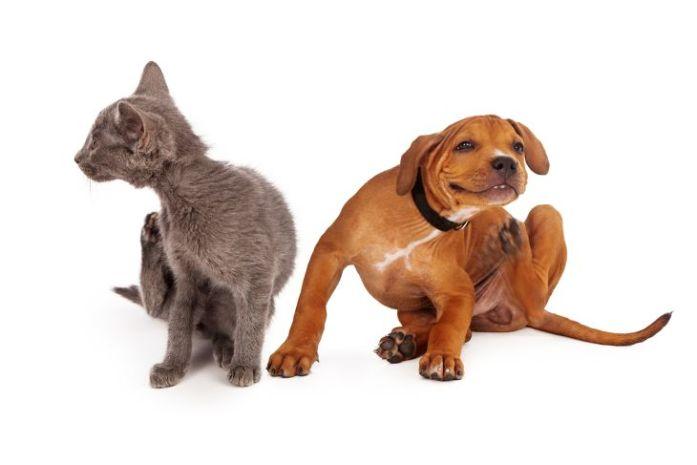 Cat and dog Fleas tick