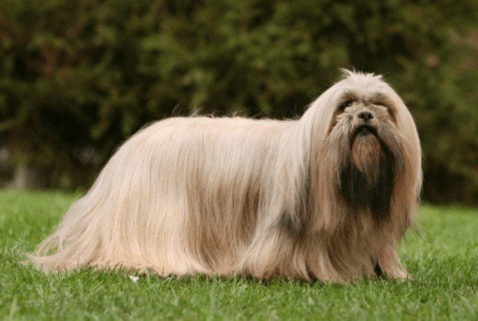 hdb approved dogs Lhasa Apso