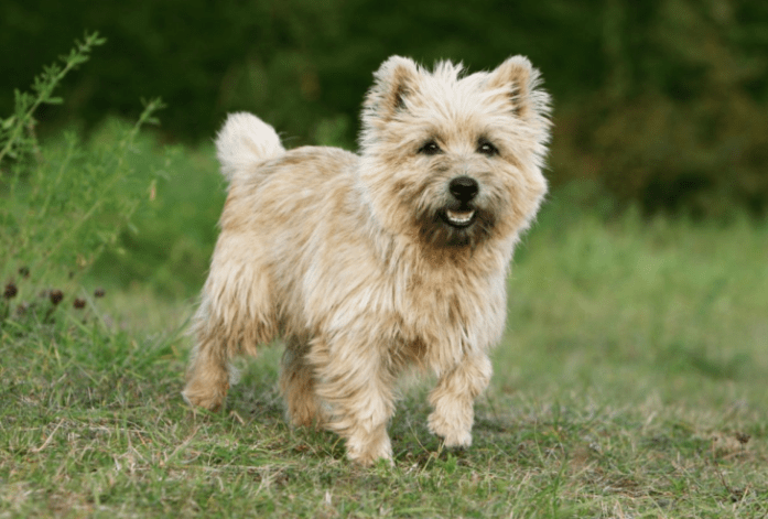 hdb approved dogs Cairn Terrier