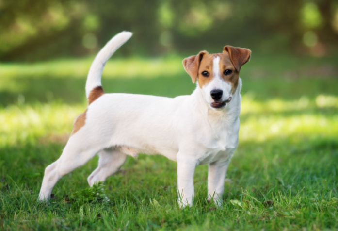 hdb approved dogs Jack Russell Terrier