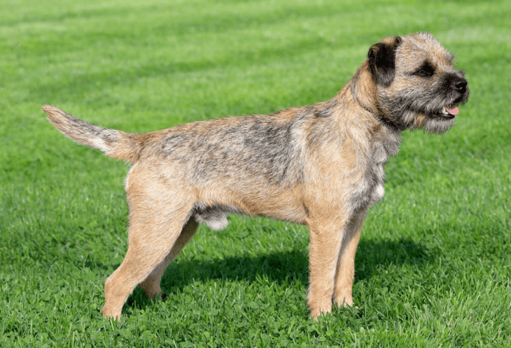 hdb approved dogs Border Terrier
