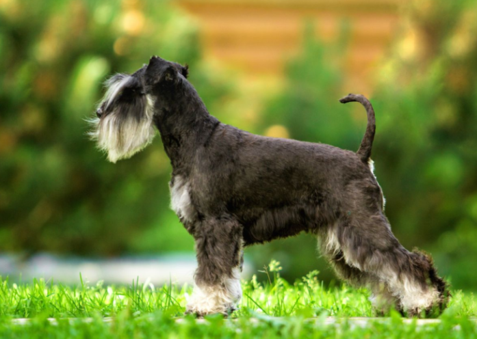 hdb approved dogs Miniature Schnauzer