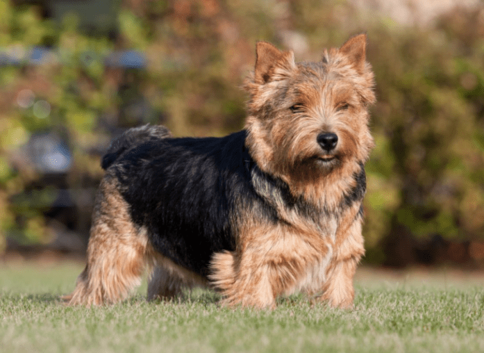 hdb approved dogs Norwich Terrier