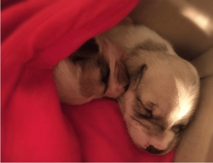 newborn puppies harvey & hazel