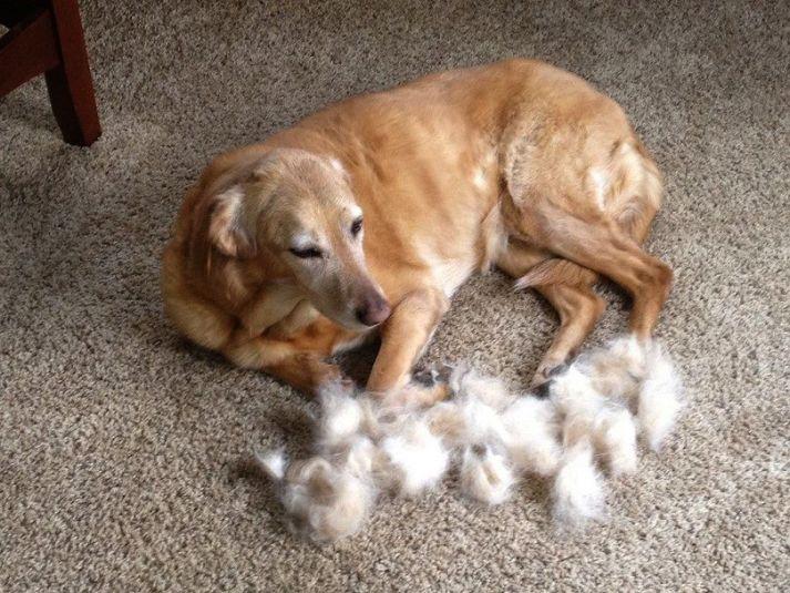 dog shedding fur