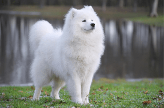 expensive dog breeds Samoyed