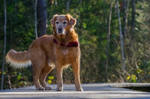 understanding your dog curious retriever