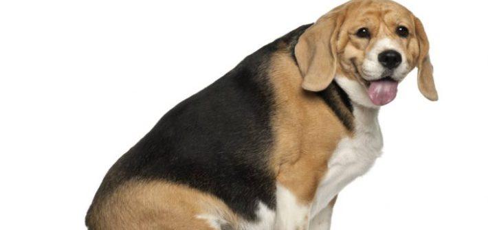 fat beagle 2