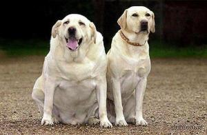 Hypoallergenic dog breed - two labs