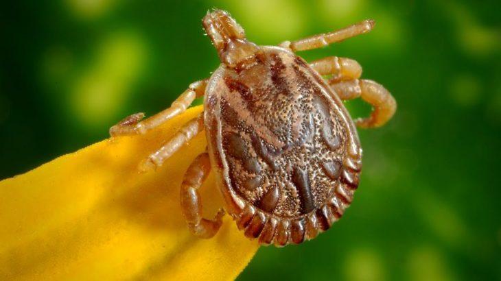 Fleas and Ticks