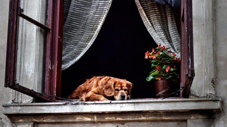 Old Senior Dog Window