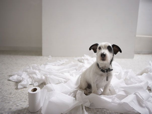 Jack Russell Toilet Paper
