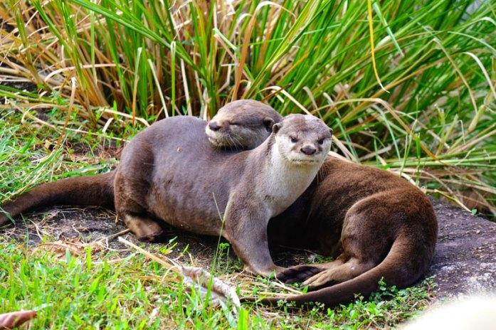 otter-singapore-bishan-park2