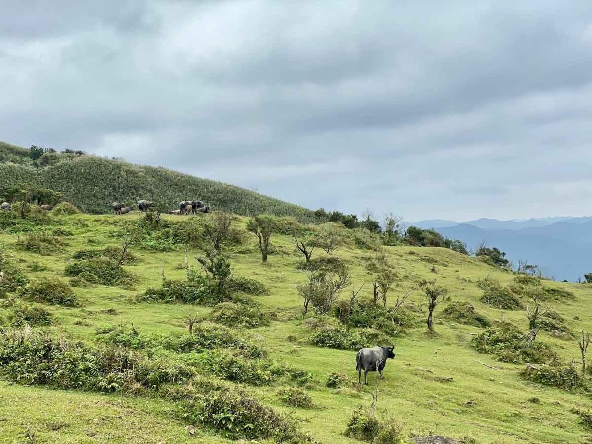 走在草嶺線步道上,幸運的話可看到牛群